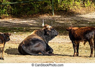 Heck cattle, Bos primigenius taurus or aurochs in the zoo - ...
