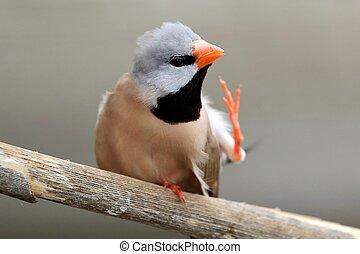 Scratching Heck's Grassfich bird with orange beak and black bib