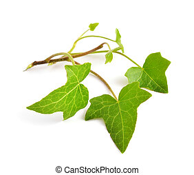 hedera, isolé