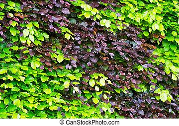Hedge green brown