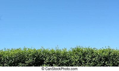 Hedge - Green hedge and blue sky