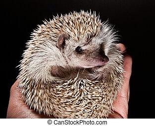 hedge hog in hand