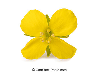Hedge mustard (Sisymbrium officinale) isolated on white background