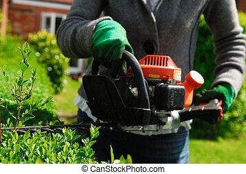 Hedge trimmer cutting evergreen privet.