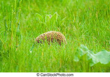 hedgehod in sunny summer day