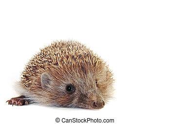 Hedgehog - Amazing little hedgehog isolated on white . With ...