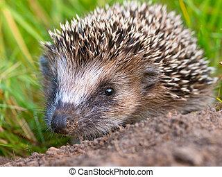 Hedgehog Baby close up - West European Hedgehog (Erinaceus, ...