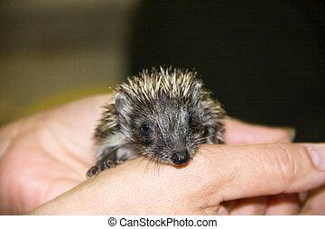 Hedgehog baby - Northern white-breasted hedgehog (Erinaceus ...