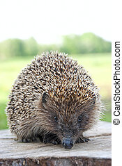 Hedgehog close up on a background of grass