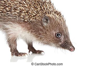 Hedgehog. Close-up portrait - Hedge-hog. Close-up portrait ...