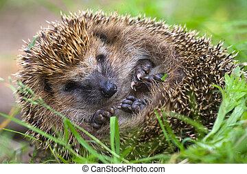 hedgehog curled and sleeps ant awakes him - forest hedgehog ...