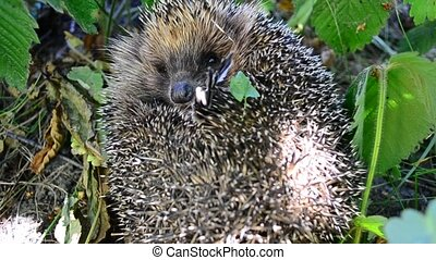 hedgehog curled in the grass - Hedgehog curled in the grass...