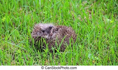 Hedgehog curled up on back in nature view, wildlife portrait...