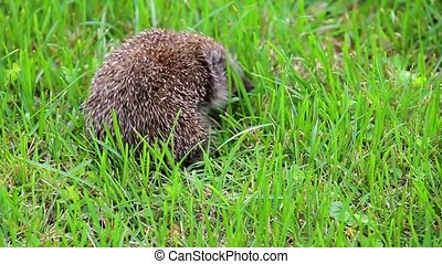 Hedgehog curled up on back turning around, wildlife portrait of Erinaceus europaeus