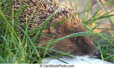Hedgehog drinks milk on the green grass