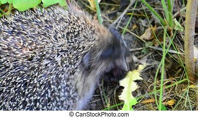 Hedgehog eating a bird in the wild in natural environment