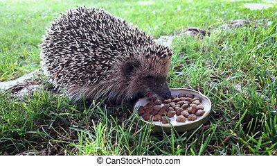 Hedgehog Eating Cat Food - Hungry hedgehog eating cat food...