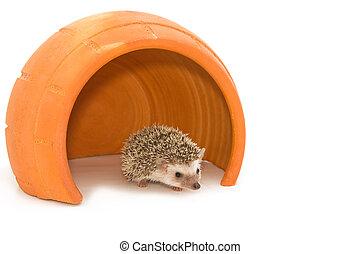 Hedgehog (erinaceus albiventris) in cray pot