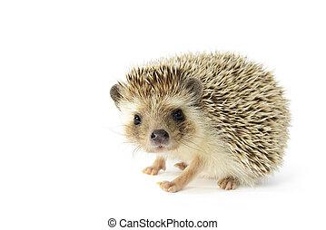 Hedgehog (erinaceus albiventris) isolated on white ...