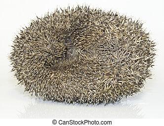 Hedgehog, Erinaceus Europaeus - Curled Defensive Possition ...