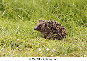 Hedgehog, Erinaceus europaeus - HEDGEHOG, Erinaceus ...