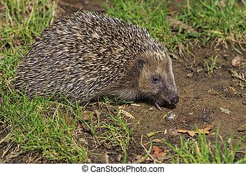 Hedgehog (Erinaceus europaeus) on grass close-up