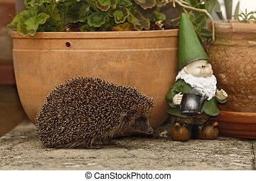 Hedgehog, Erinaceus europaeus, single mammal by flowerpot in...
