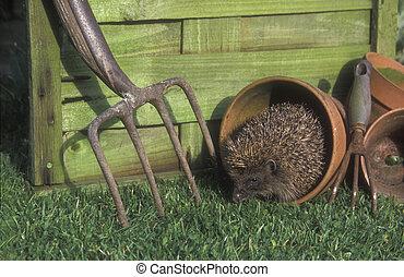 Hedgehog, Erinaceus europaeus, single mammal by flowerpot, ...