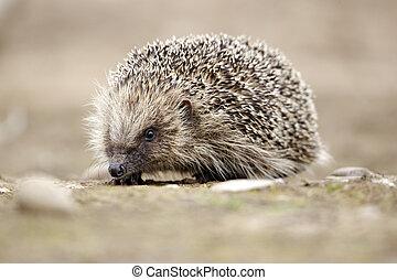 Hedgehog, Erinaceus europaeus, single mammal, Midlands, June...
