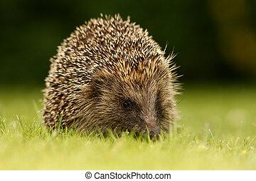 Hedgehog, Erinaceus europaeus, single mammal on garden lawn...