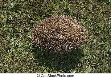 Hedgehog, Erinaceus europaeus, single mammal on grass curled...