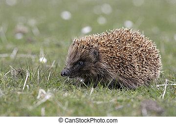 Hedgehog, Erinaceus europaeus, single mammal on grass, ...