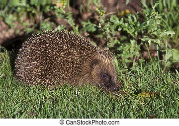 Hedgehog, Erinaceus europaeus, single mammal on grass, UK