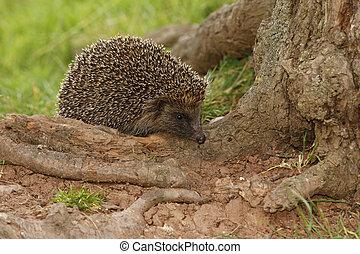 Hedgehog, Erinaceus europaeus, single mammal on log, ...