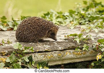 Hedgehog, Erinaceus europaeus, single mammal on tombstone in...