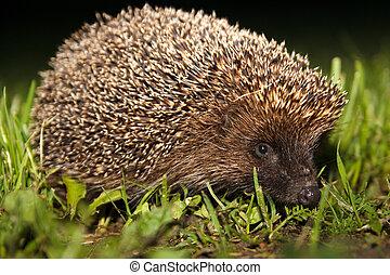 hedgehog - Erinaceus europaeus - wild hedgehog in the grass ...