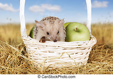 Hedgehog in a basket with apples