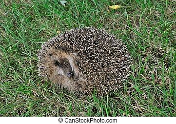Hedgehog in a meadow