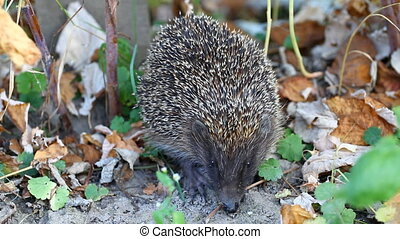 Hedgehog in autum - Hedgehog sitting on ground in autumn