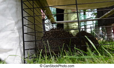hedgehog in captivity - Two hedgehog animals close in...