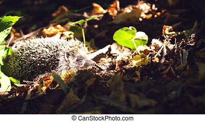 Hedgehog in grass under rays of sun close up