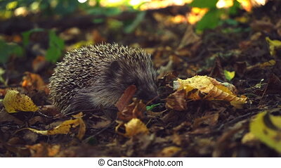Hedgehog in the foliage close up