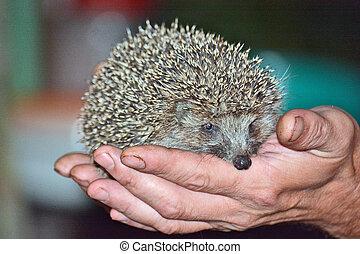 hedgehog in the hands of men