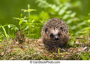 Hedgehog in the woods looking curiously at you