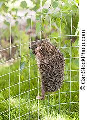 Hedgehog is climbing ona metal fence