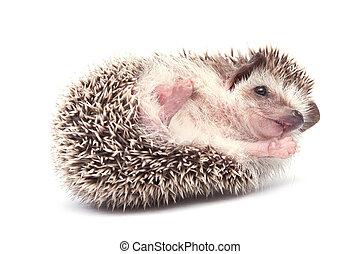 Hedgehog isolate on white backgroun