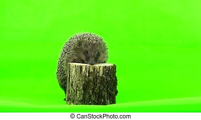 hedgehog isolated on a green background