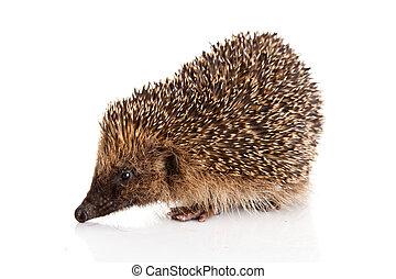 hedgehog isolated.