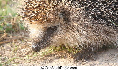 hedgehog needle wild animal close up - insectivorous animal...