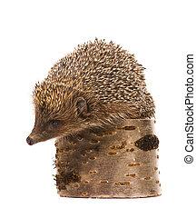 Hedgehog - Nice hedgehog animal on stump isolated on white ...